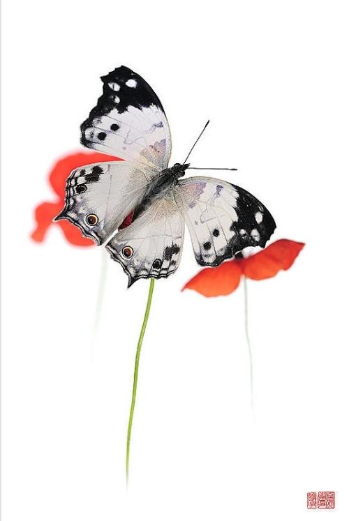Stéphane Hette - Papillon Saichuu hana