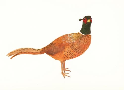 Sue Brown - Common pheasant (www.whtidoisme.wordpress.com)